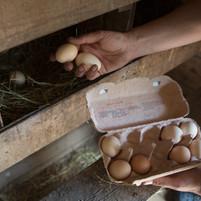 coleta de Ovos
