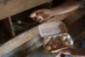 la recogida de los huevos