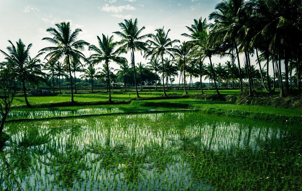 arrozales fotografía naturaleza