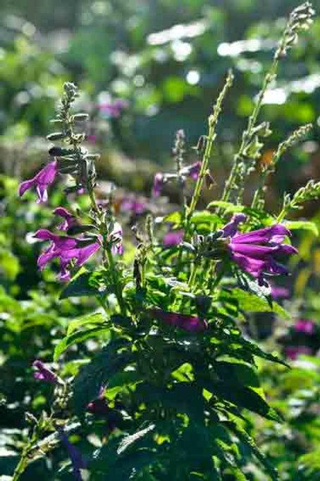 Salvia 'Envy Purple form'
