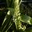 Thumbnail: Ornithogalum caudatum