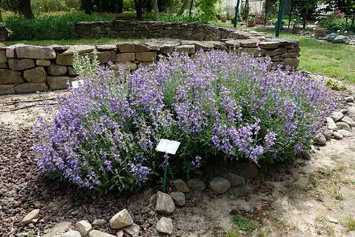 Salvia officinalis 'Nana'