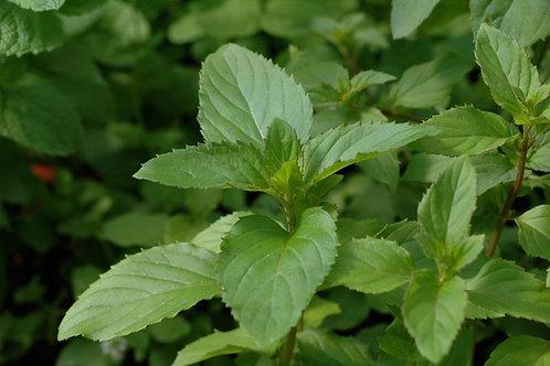 Mentha X piperita f. citrata 'Bergamot'