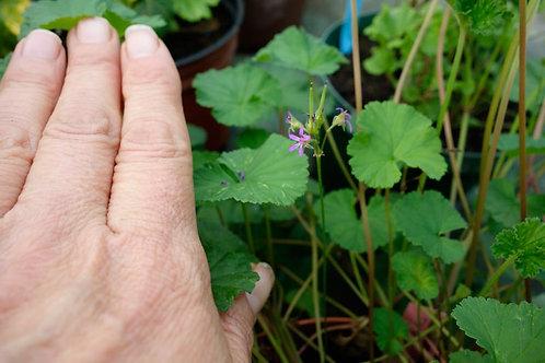 Pelargonium grossularioides