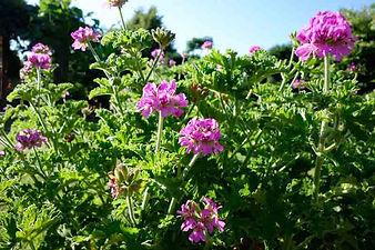 pelargonium-capitatum.jpg