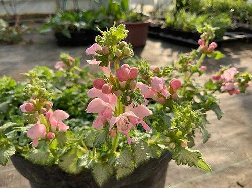 Lamium maculatum 'Shell Pink'