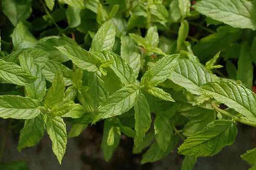 Mentha 'Wintergreen'