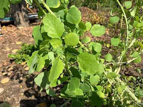 Porophyllum ruderale ssp. macrocephalum