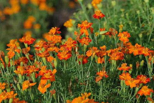 Tagetes tenuifolia 'Orange Gem'