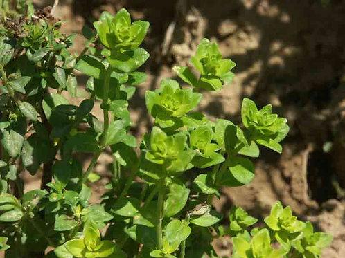 Satureja biflora