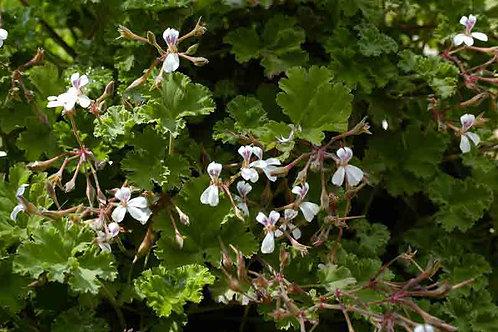 Pelargonium 'Fruity'