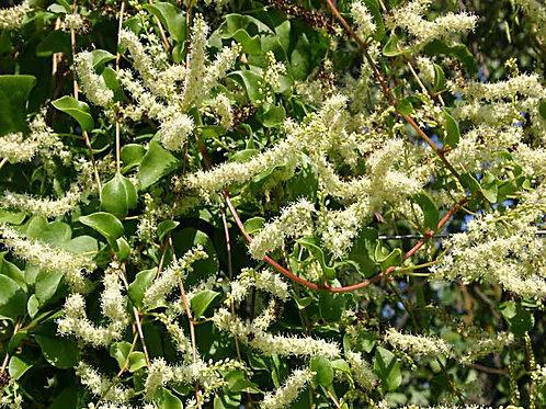 Boussingaultia cordifolia