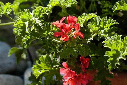 Pelargonium 'Scarlet'