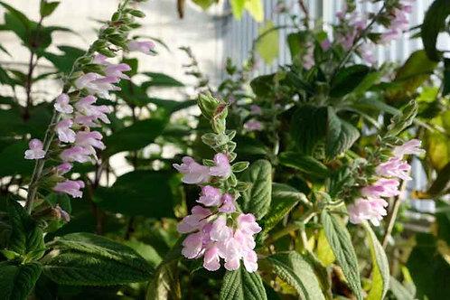 Salvia eizi-matudae sp