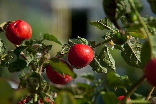 Solanum uporo