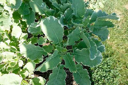 Brassica oleracea 'Variegata'