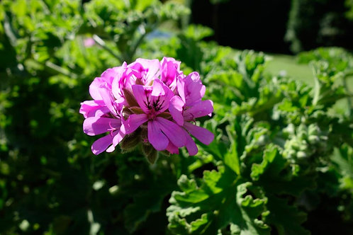 Pelargonium 'Purple Unique'