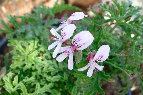 Pelargonium 'Candy Dancer'