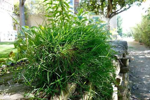 Agrostis stolonifera sp