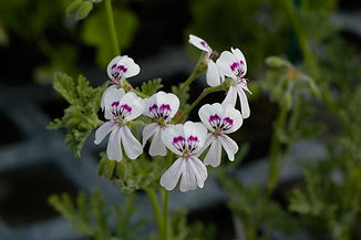 pelargonium-blanfordianum.jpg