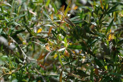Leptospermum petersonii