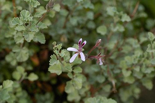 Pelargonium extipulatum