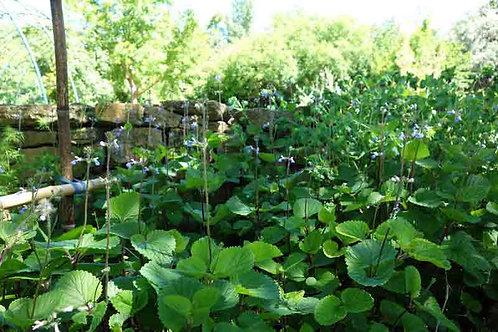 Salvia procurrens