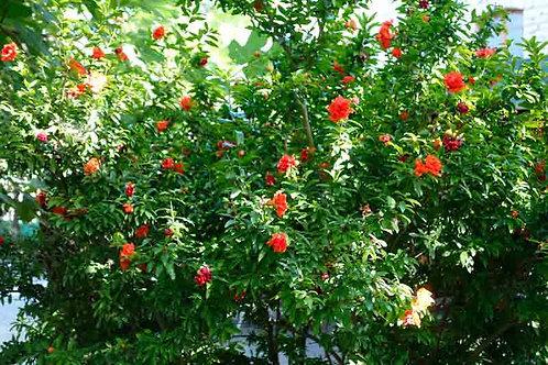 Punica granatum var. pleniflora