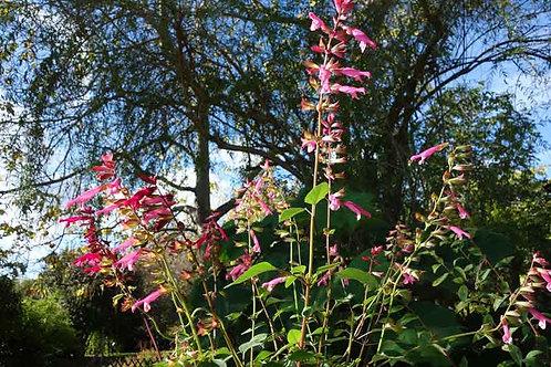 Salvia splendens 'Van Houttei Pink'