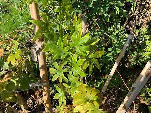 Rubus suavissimus