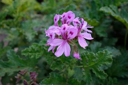 Pelargonium viscosissimum