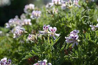 pelargonium-radens.jpg
