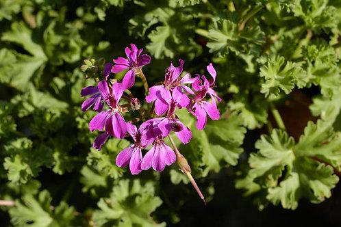 Pelargonium 'Deerwood Lavender Lad'