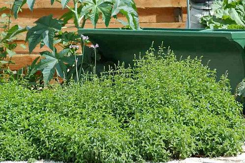 Mentha spicata var.crispa'Moroccan'