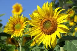 sunflower-3526901_1920.jpg