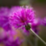 Vernonia missurica