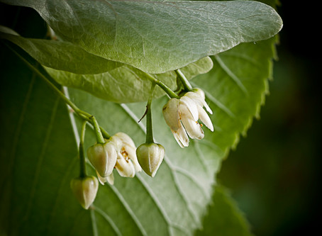 America's Linden Tree - The Basswood