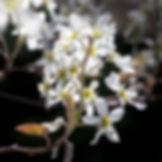 Amelanchier arborea.jpg