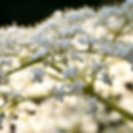 Sambucus canadensis.jpg