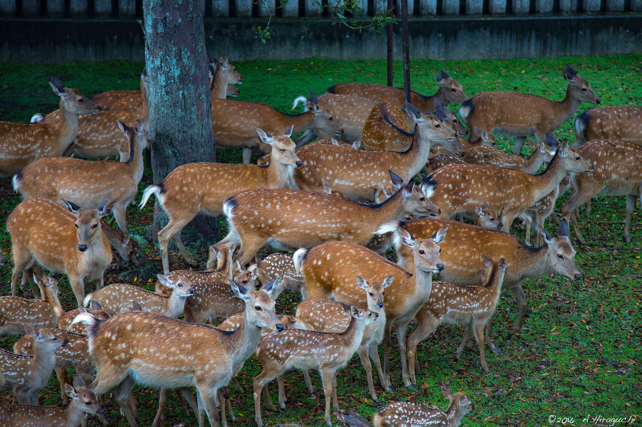 鹿さん、大集合
