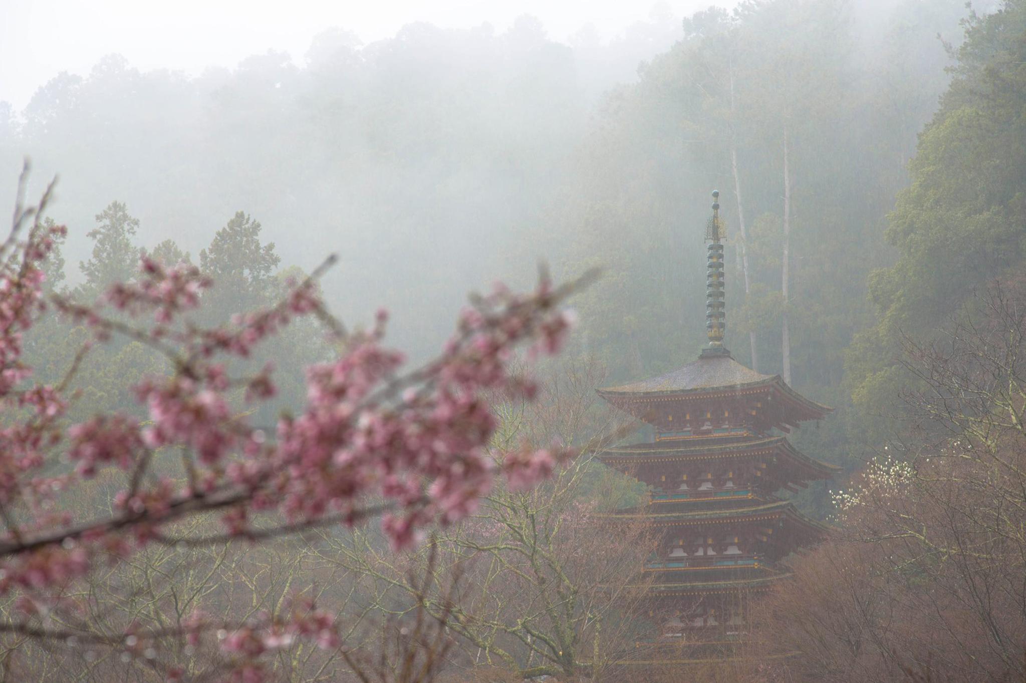 桜濡らす やさしい雨