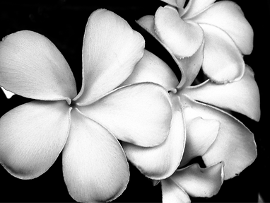 White%20Frangipani%20Flowers_edited.png
