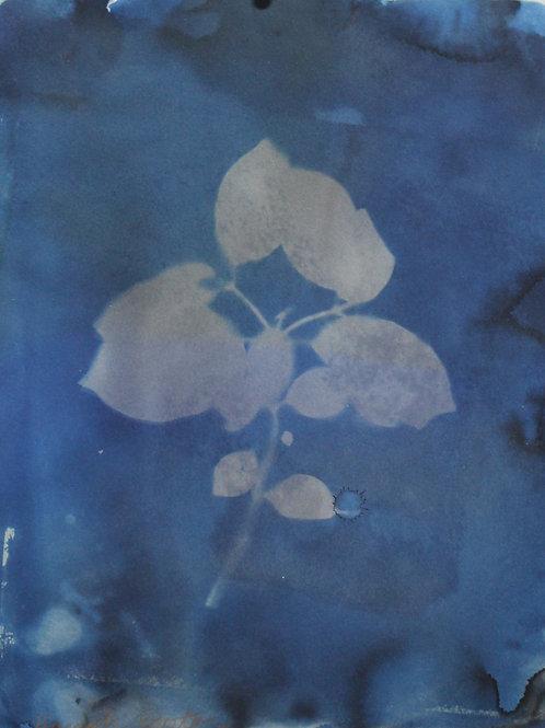 Branch Cyanotype