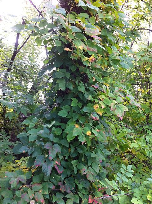 Poison Ivy 1.JPG