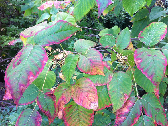 Poison Ivy (Fall)