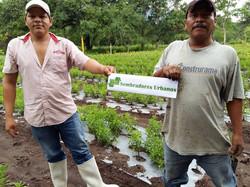 Stevia en Colima