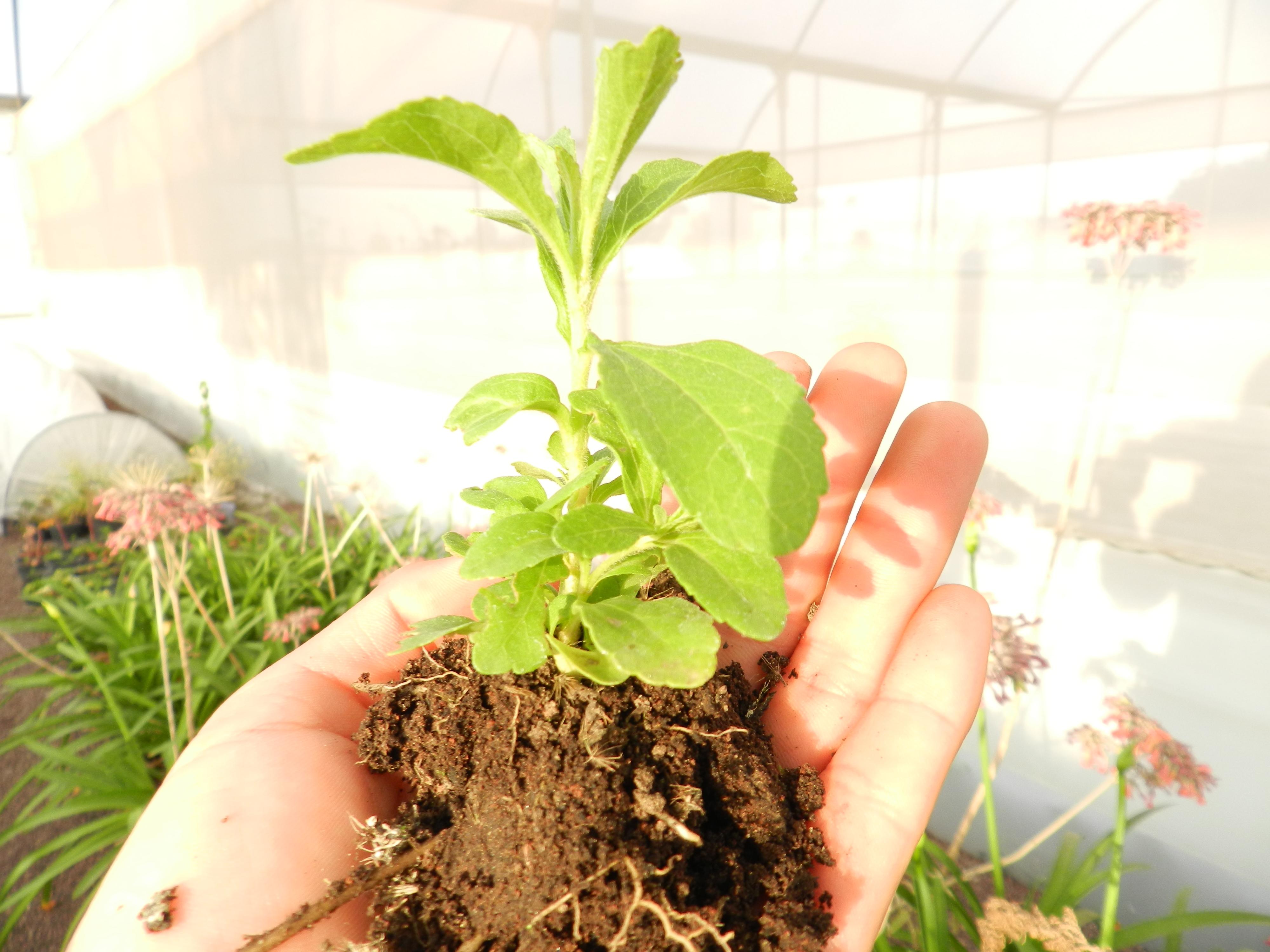 Stevia en Invernadero Texcoco