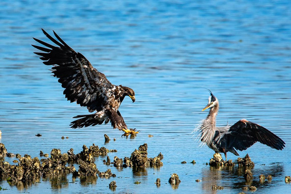 Juvenile Bald Eagle Landing Near a Great Blue Heron