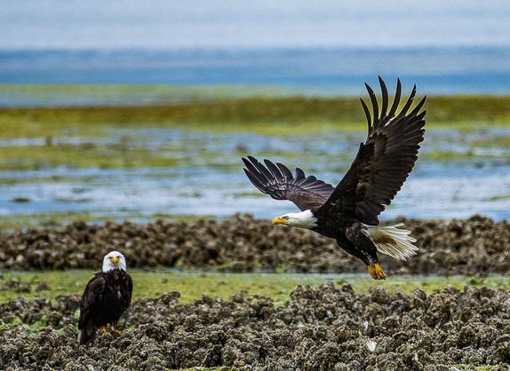 Bald Eagles at Low Tide