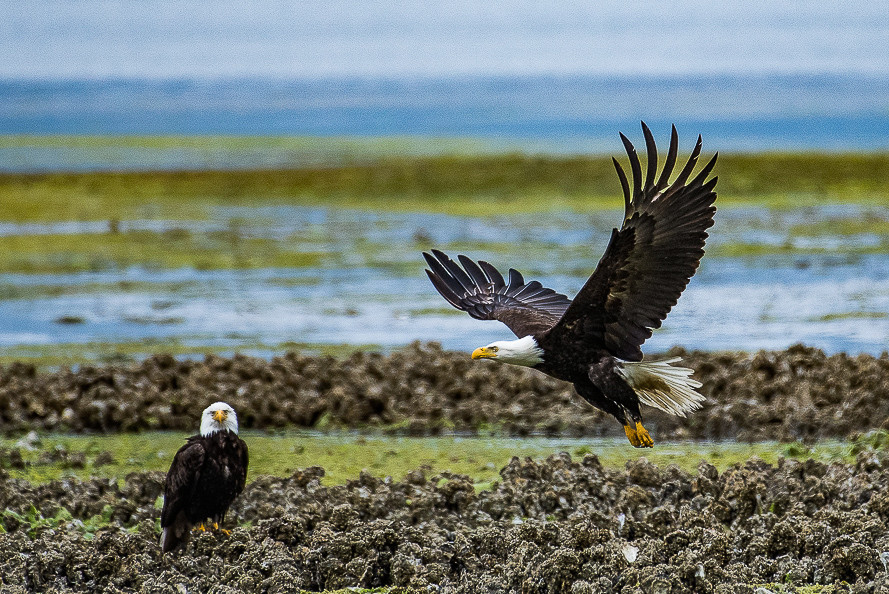 Bald Eagles at Low Tide